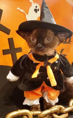 """ハロウィン仮装の猫と""""記念ニャ真""""、 おいしいミルクを飲んで運気もアップ! 猫カフェ 猫家 大宮店「ハ ..."""
